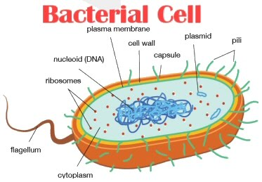 How do bacterial cells differ from human cells betterhealthfacts however this fact is widely misunderstood as our body has got more bacterial cells than human cells sciox Choice Image