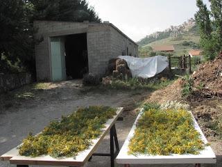 essicazione dell'iperico in Sicilia