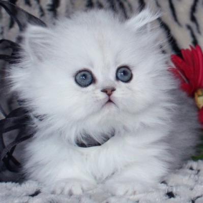 صور قطط جميلة 4bb9e3a6ae088-Disponibili_PER_L_ADOZIONE_4_cuccioli_gattini_persiani_ipertipici_di_due_mesi_maschio_e_femmina
