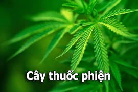 cay-thuoc-phien