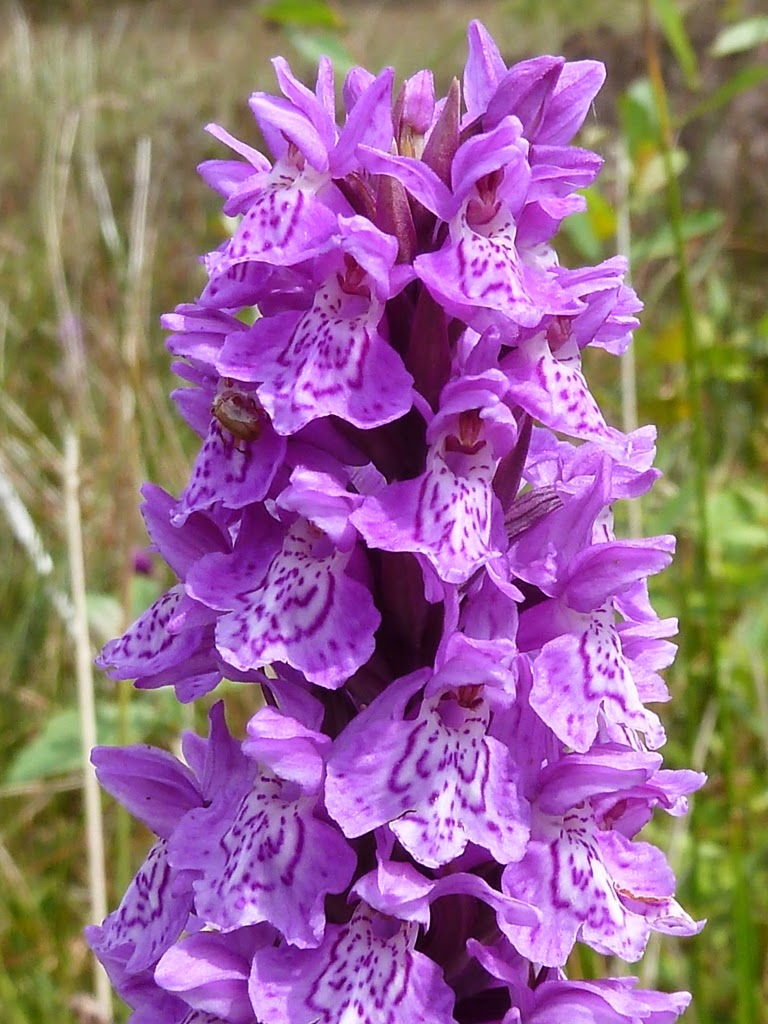 Heath Spotted Orchid (Dactylorhiza maculata)
