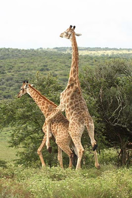 giraffe make love