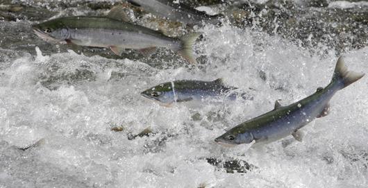 Lachse aus Alaska