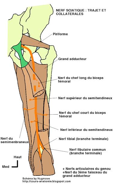 anatomie  de :Nerf sciatique, nerf fibulaire commun et nerf tibial  Nerf+sciatique