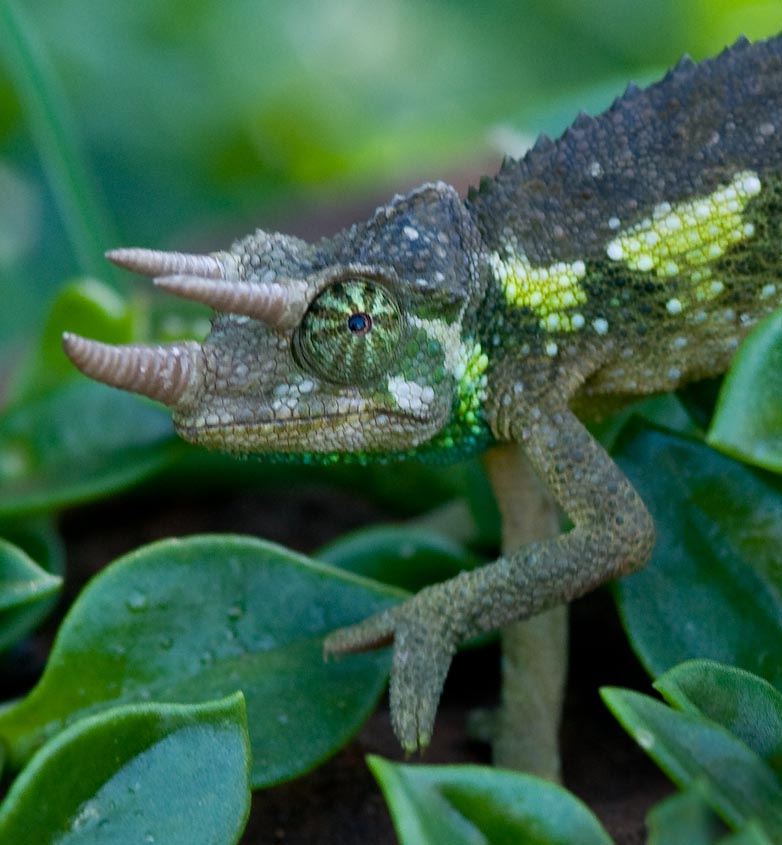 Chameleon Horns: The Reference Reference: Chameleon I