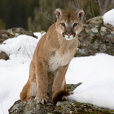 Cougar animals download free wallpapers for Apple iPad