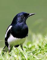 Burung anis batu