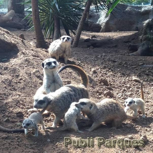 Grupo de suricatas