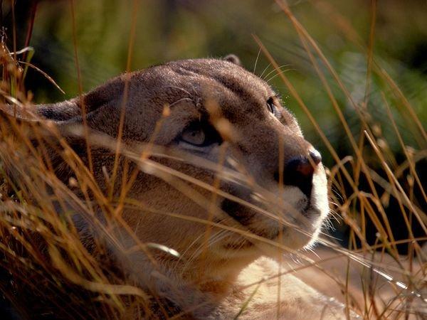 patagonia-wildlife-puma