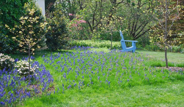 Rough grass and grape hyacinths (Muscari armenicum) under spring flowering trees near the house.