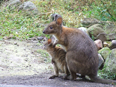 pademelon pet - photo #2
