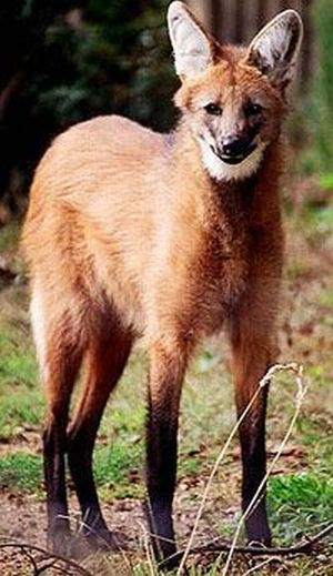 Maned Wolf Seen On www.coolpicturegallery.us