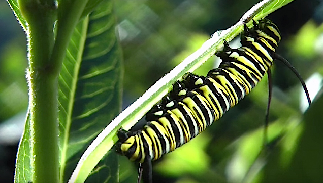 Monarch Butterfly, Caterpillar stage