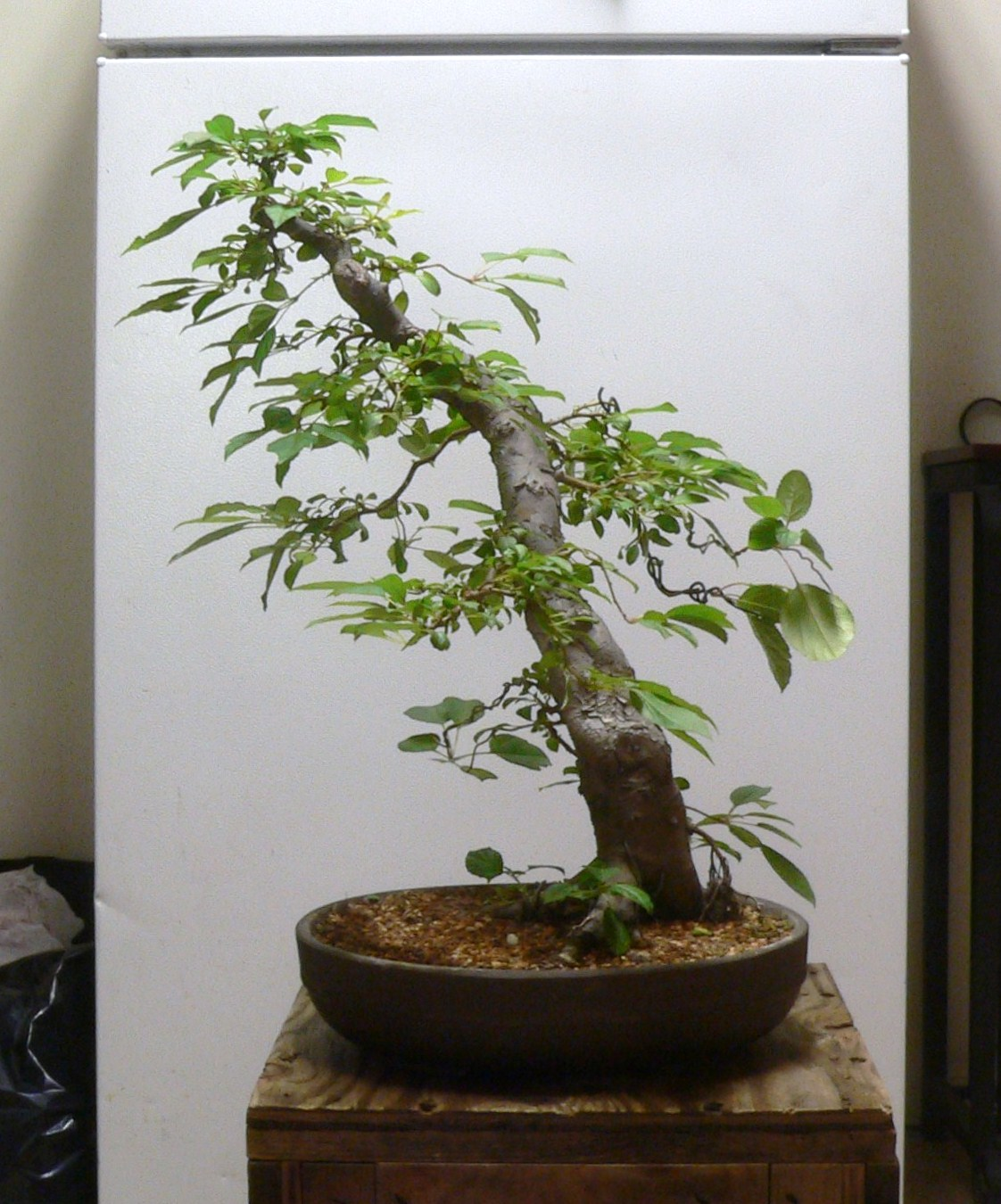 Laser Beam Bonsai Crabapple Bonsai