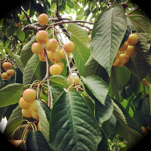 Smashed Cherries, Amaretti and Ricotta