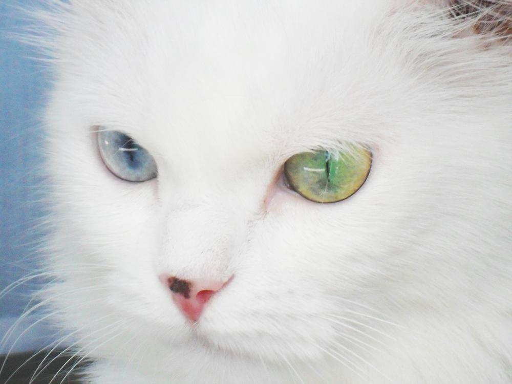Alla ricerca del siberian husky vorrei un cane hai mai pensato al gatto - Husky occhi diversi ...