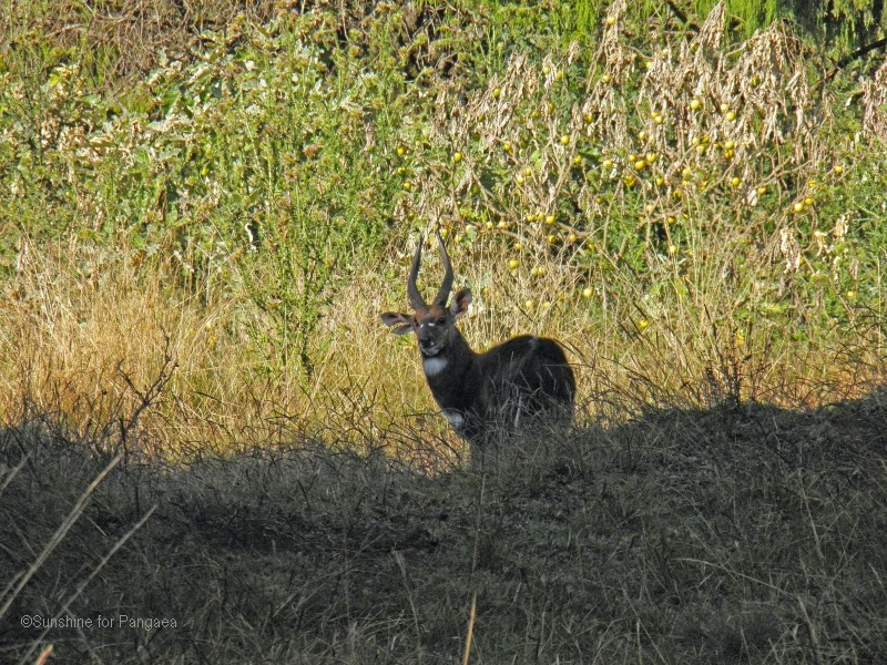Menelik's Bushbuck in the Bale Mountains