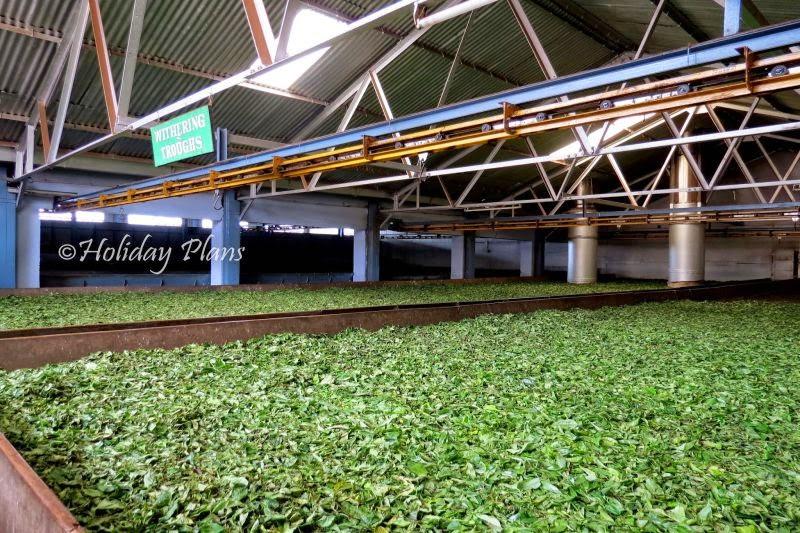 Tea Manufacturing Machines