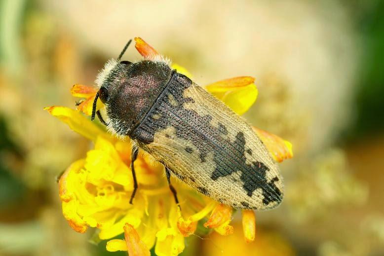 Acmaeodera pilosellae