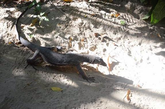 monitor lizard bayawak