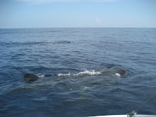 There were about 40 whale sharks feeding in the area