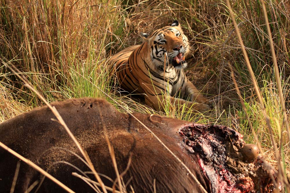 [Tiger+on+a+Gaur+kill.jpg]