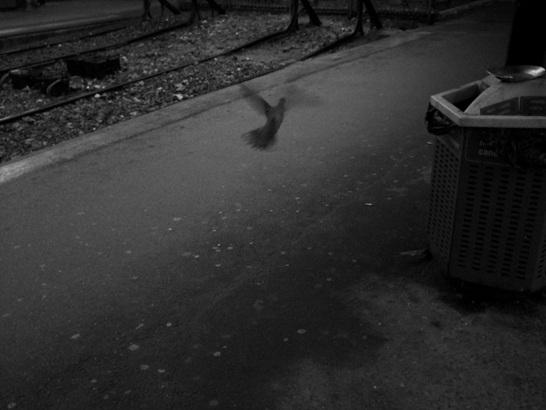 Porumbelul gri...