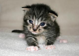 variga ögon katt