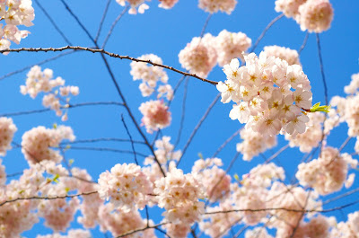 Cherry blossoms by Burrard St. Skytrain station, Vancouver