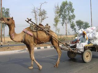 Camellos en autopista, Agra, India, vuelta al mundo, round the world, La vuelta al mundo de Asun y Ricardo