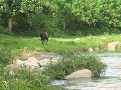 A cow beside the flowing brook in Biasong