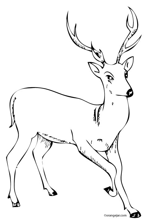 Line Drawings Of Animals Deer : Orangejar caricatures illustrations photo prints