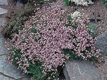 Plantas de jard n - Plantas para rocallas ...