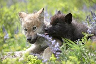 Manada: Guardianes del bosque - Página 40 Cachorros-de-lobo-en-el-cesped