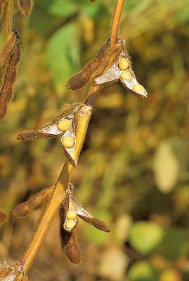 Foto de la planta de la Soya o Soja. Qué es la soya?