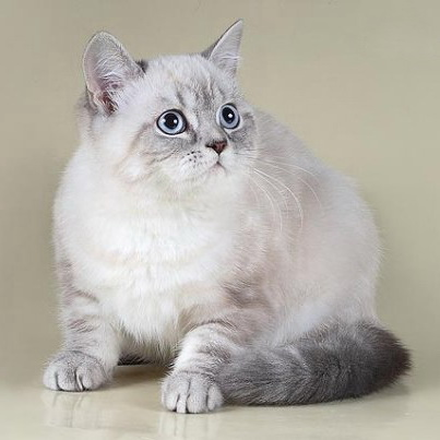 аллергия на британских котов