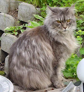Maine Coon cats are large animals, with squared jaws and bright, round eyes.