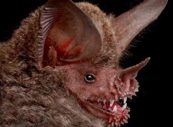 ¿Por qué y cómo los murciélagos vuelan sólo de noche?