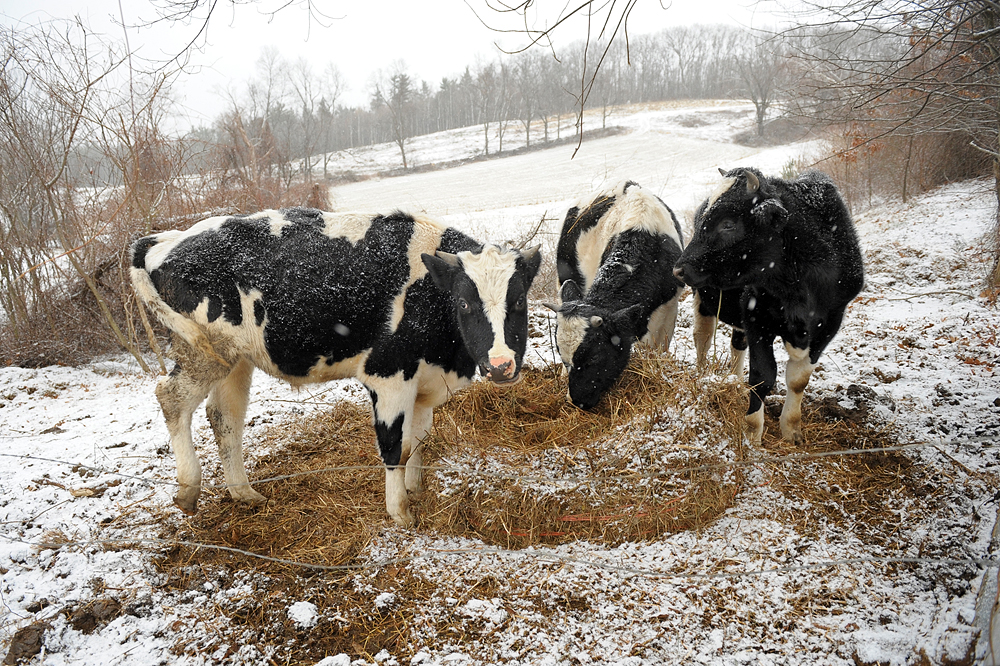 Wednesday, December 22, 2010--Cows feed on hay off of Leominster Road in