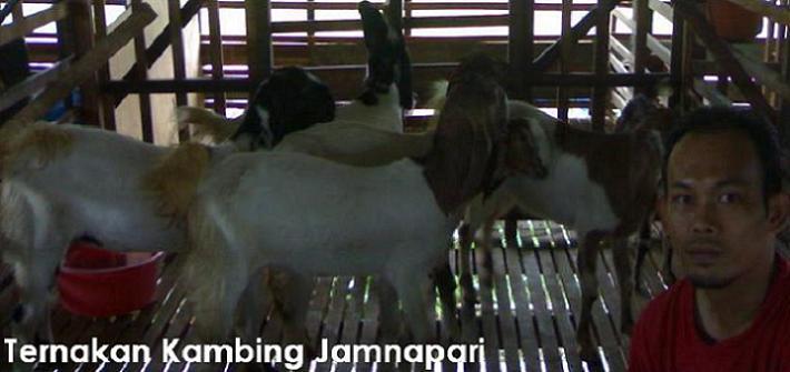 Ternakan Kambing Jamnapari