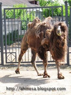 двугорбный верблюд