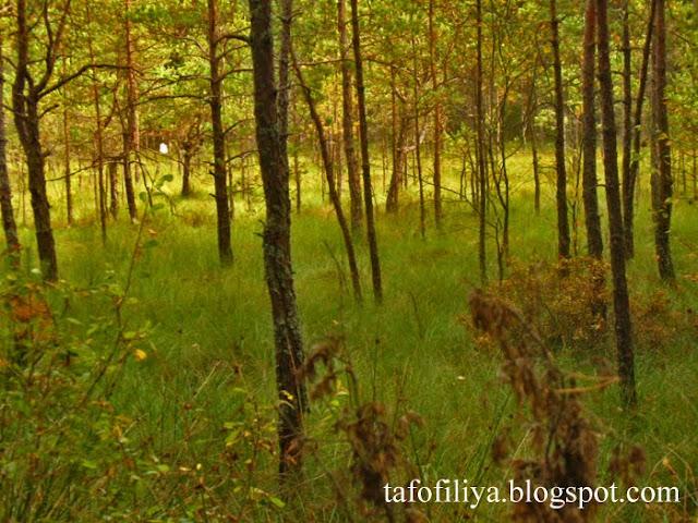 болото, природа, лес, поречский лес, деревья, трава, травы