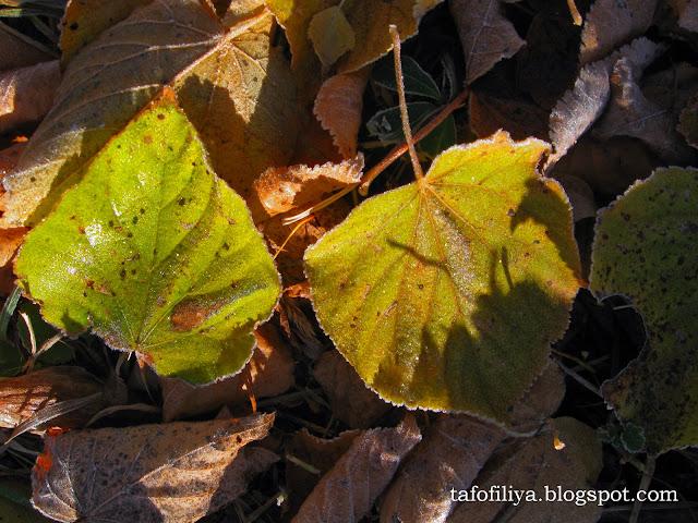 осень, желтые листья, иней, иней на листьях
