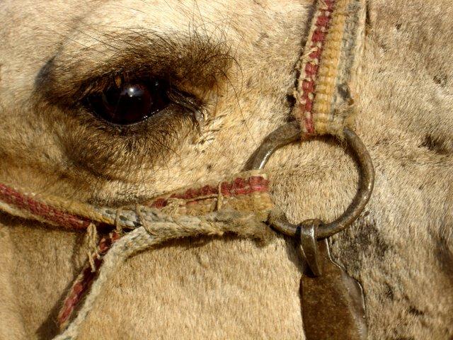 Ojo de camello.
