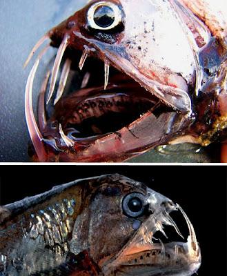 Foto Mahluk Laut Unik Dari Lautan Terdalam di Dunia