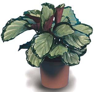 Calathea Corona