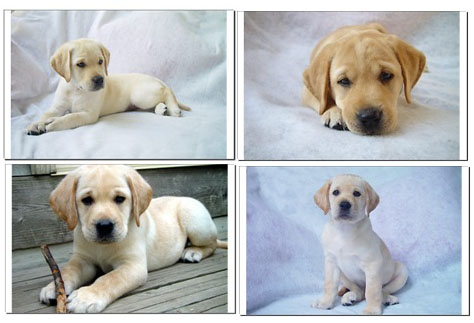 Yellow  Puppies on Http   Www Labradorpuppiesforsalein Com Labrador Puppies 16 Weeks Old