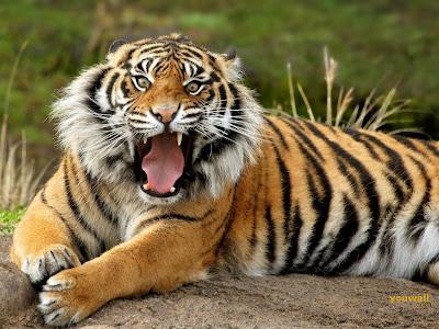 jenis harimau