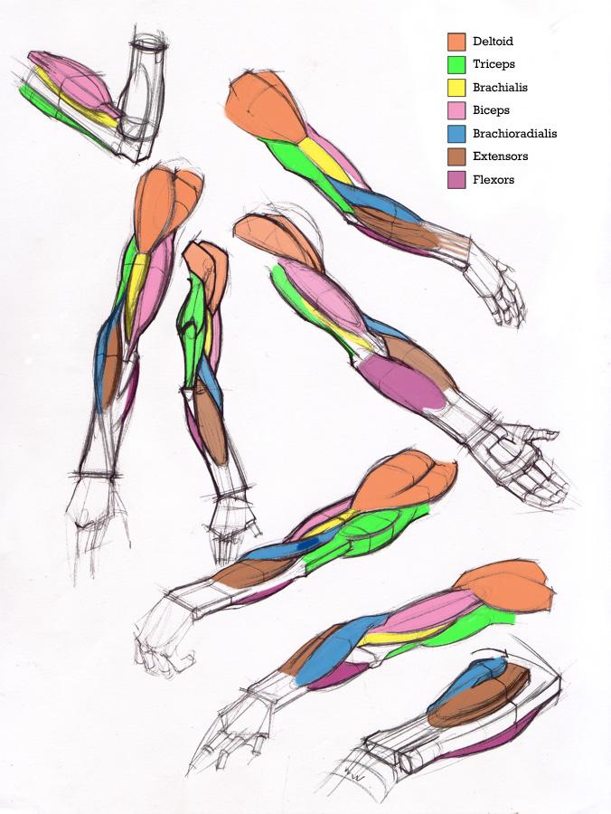Figuredrawing Info News  Additional Arm Diagrams 5  13