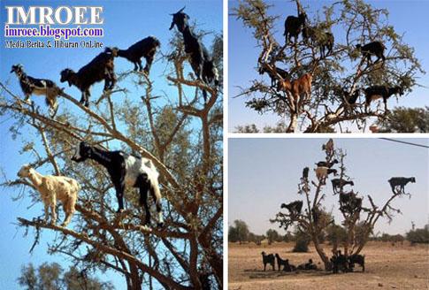 kambing-kambing ekstrim memanjat pohon
